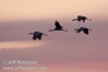 Sandhill cranes flying against a bright pink sky  (10/4/2009, Isenberg Sandhill Crane Reserve near Lodi, CA)