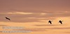 Sandhill cranes coming in for a landing against orange sunset colors (10/4/2009, Isenberg Sandhill Crane Reserve near Lodi, CA)
