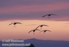 A flock of sandhill cranes flying coming in for a landing against sunset colors (10/4/2009, Isenberg Sandhill Crane Reserve near Lodi, CA)