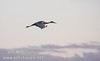 A sandhill crane flying against a grey sky with late sun hitting it  (10/4/2009, Isenberg Sandhill Crane Reserve near Lodi, CA)