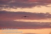 A lone sandhill crane gliding in for a landing with legs dangling down against bright pink clouds (10/4/2009, Isenberg Sandhill Crane Reserve near Lodi, CA)