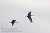 Sandhill cranes flying against a blue-grey sky (10/4/2009, Isenberg Sandhill Crane Reserve near Lodi, CA)