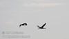 A pair of sandhill cranes flying (10/4/2009, Isenberg Sandhill Crane Reserve near Lodi, CA)