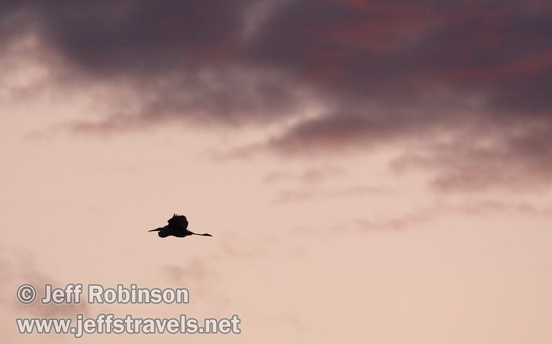 An egret flying against the clouds hinted with sunset colors (10/4/2009, Isenberg Sandhill Crane Reserve near Lodi, CA)