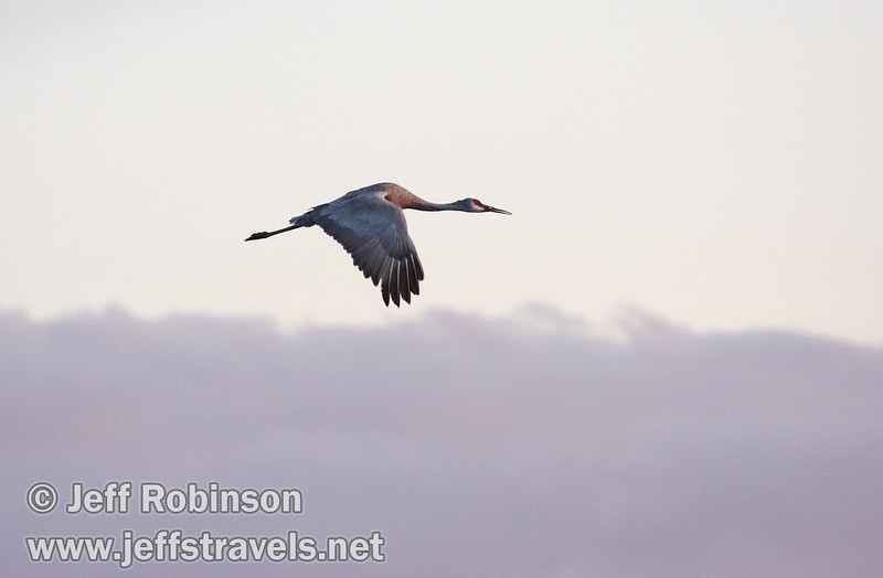 A sandhill crane with late sun hitting it flying against a grey sky (with a hint of pink) (10/4/2009, Isenberg Sandhill Crane Reserve near Lodi, CA)