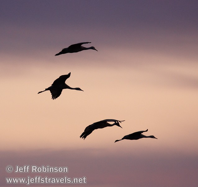A flock of sandhill cranes flying coming in for a landing against sunset colors (10/4/2009, Isenberg Sandhill Crane Reserve near Lodi, CA)