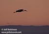 A sandhill crane gliding in for a landing against a peach sky (10/4/2009, Isenberg Sandhill Crane Reserve near Lodi, CA)