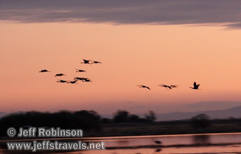 A large flock of sandhill cranes flying against sunset colors (10/4/2009, Isenberg Sandhill Crane Reserve near Lodi, CA)