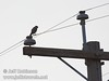A raptor (falcon?) sitting on a power line at a power pole (10/4/2009, Isenberg Sandhill Crane Reserve near Lodi, CA)