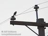 A raptor (falcon?) sitting on a power line at a power pole (10/4/2009, Isenberg Sandhill Crane Reserve near Lodi, CA)