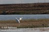 A pair of distant great egrets standing in the marsh grass (10/4/2009, Isenberg Sandhill Crane Reserve near Lodi, CA)