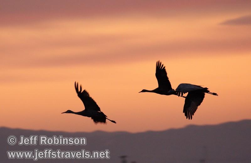 Three sandhill cranes coming in for a landing against sunset colors (10/4/2009, Isenberg Sandhill Crane Reserve near Lodi, CA)