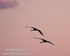 A pair of sandhill cranes flying against a peach/pink sky (10/4/2009, Isenberg Sandhill Crane Reserve near Lodi, CA)