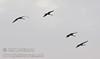 A flock of sandhill crans flying against the sky (10/4/2009, Isenberg Sandhill Crane Reserve near Lodi, CA)
