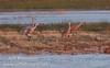 4 sandhill cranes on a grassy island in the marshy field (10/4/2009, Isenberg Sandhill Crane Reserve near Lodi, CA)