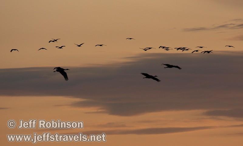A flock of sandhill cranes flying in (10/4/2009, Isenberg Sandhill Crane Reserve near Lodi, CA)