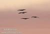 Sandhill cranes flying against pink sunset colors (10/4/2009, Isenberg Sandhill Crane Reserve near Lodi, CA)