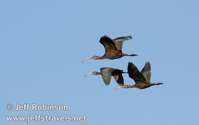 Four white-faced ibis flying against the blue sky (10/4/2009, Isenberg Sandhill Crane Reserve near Lodi, CA)