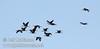 A flock of white-faced ibis flying against the blue sky (10/4/2009, Isenberg Sandhill Crane Reserve near Lodi, CA)