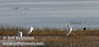Three great egrets in the marsh, with at least one preening itself (10/4/2009, Isenberg Sandhill Crane Reserve near Lodi, CA)
