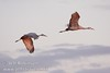 A pair of sandhill cranes flying against a grey sky with late sun hitting them (10/4/2009, Isenberg Sandhill Crane Reserve near Lodi, CA)