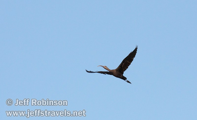 White-faced ibis flying against the blue sky (10/4/2009, Isenberg Sandhill Crane Reserve near Lodi, CA)