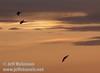 Three sandhill cranes coming in for a landing against a bright-yellow sunset (10/4/2009, Isenberg Sandhill Crane Reserve near Lodi, CA)