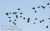 A flock of white-faced ibis flying against the blue and cloudy sky (10/4/2009, Isenberg Sandhill Crane Reserve near Lodi, CA)