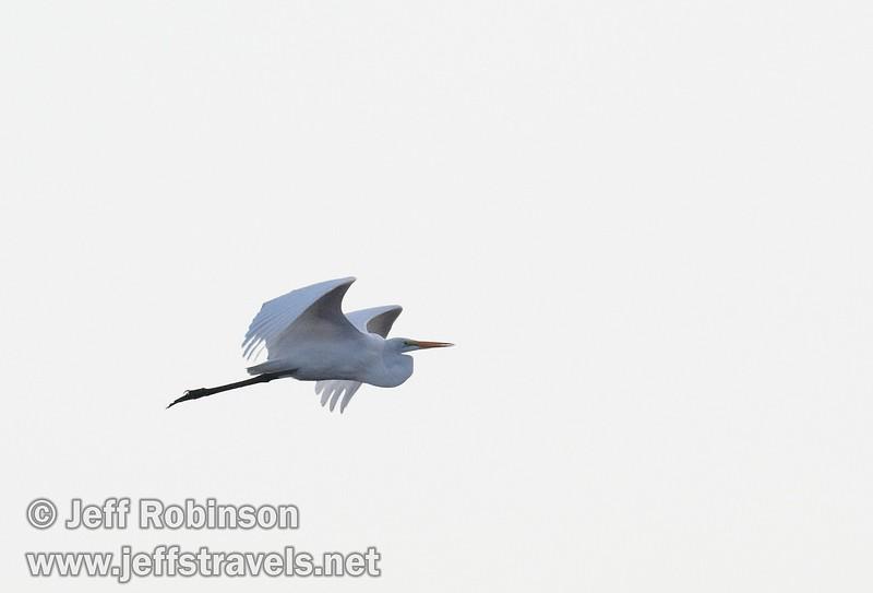 A great egret flying (10/4/2009, Isenberg Sandhill Crane Reserve near Lodi, CA)
