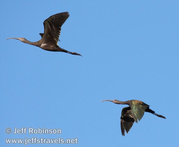 Two white-faced ibis flying against the blue sky (10/4/2009, Isenberg Sandhill Crane Reserve near Lodi, CA)