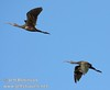 Two white-faced ibis flying against the blue sky (10/4/2009, Isenberg Sandhill Crane Reserve near Lodi, CA)