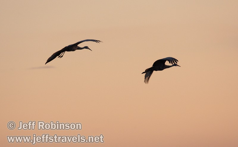 Sandhill cranes coming in for a landing against pinkish sunset colors (10/4/2009, Isenberg Sandhill Crane Reserve near Lodi, CA)