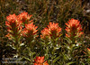 Some variety of backlit Paintbrush with green leaves shifting to light-red flowers on top. (Possibly a variety of Applegate Paintbrush.) (8/13/2011, Frog Lake, Carson Pass to Frog Lake hike)<br /> EF-S17-85mm f/4-5.6 IS USM @ 85mm f10 1/200s ISO200