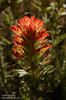 Some variety of backlit Paintbrush with green leaves shifting to light-red flowers on top. (Possibly a variety of Applegate Paintbrush.) (8/13/2011, Frog Lake, Carson Pass to Frog Lake hike)<br /> EF-S17-85mm f/4-5.6 IS USM @ 85mm f10 1/250s ISO200