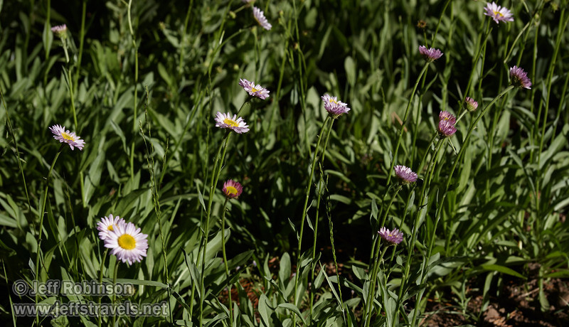 Light blue or lavender daisy-like flowers (aster family?) (8/13/2011, Carson Pass to Frog Lake hike)<br /> EF-S17-85mm f/4-5.6 IS USM @ 85mm f10 1/250s ISO200