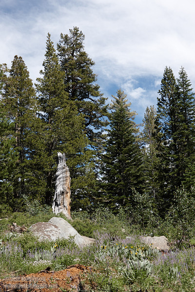 A weathered tree trunk beyond the reddish wood of a decaying tree, surrounded by granite rocks, yellow and purple flowers, and green trees (8/13/2011, Carson Pass to Frog Lake hike)<br /> EF-S17-85mm f/4-5.6 IS USM @ 41mm f10 1/160s ISO125