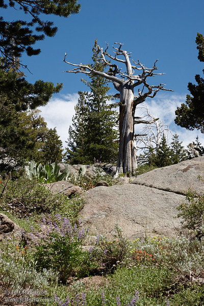 Dead snag above a large granite boulder, with red & purple flowers in the foreground, and trees, blue sky, and white clouds in the background (8/13/2011, Carson Pass to Frog Lake hike)<br /> EF-S17-85mm f/4-5.6 IS USM @ 85mm f14 1/160s ISO250