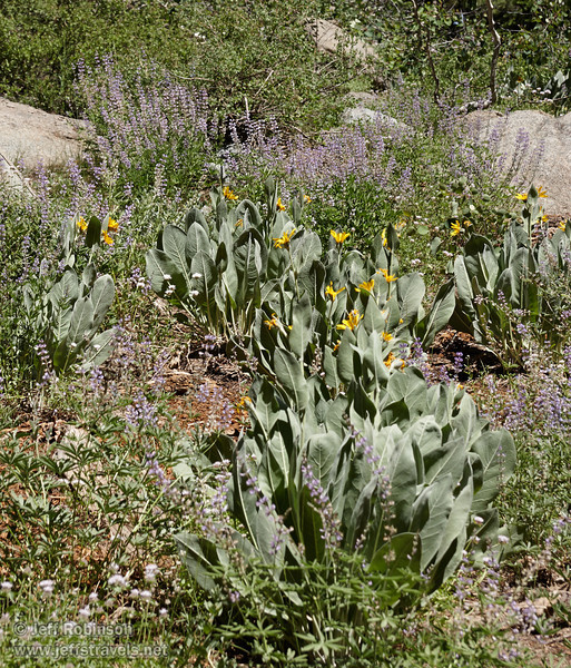 Yellow Mule Ears (with broad leaves) and purple Lupine in front of granite rock, bushes, and trees (8/13/2011, Carson Pass to Frog Lake hike)<br /> EF-S17-85mm f/4-5.6 IS USM @ 85mm f10 1/160s ISO125