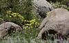 Granite boulders surrounded by yellow, white, and purple flowers. (8/13/2011, Carson Pass to Frog Lake hike)<br /> EF100-400mm f/4.5-5.6L IS USM @ 220mm f8 1/500s ISO250