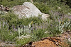 The reddish wood of a decaying tree and a granite boulder, with yellow, purple, and white flowers in between. The purple flowers are Lupine, while the yellow flowers on plants with broad leaves are Mule Ears (8/13/2011, Carson Pass to Frog Lake hike)<br /> EF-S17-85mm f/4-5.6 IS USM @ 79mm f10 1/160s ISO125