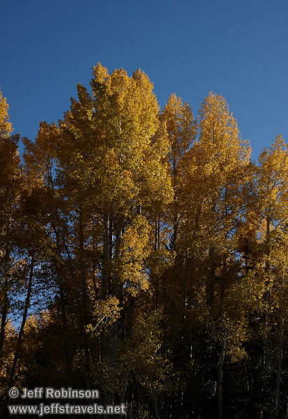 Bright yellow aspen under blue sky. (10/22/2011, off highway 88 at the turnoff to Red Lake in Hope Valley below Carson Pass, Fall Color Drive)