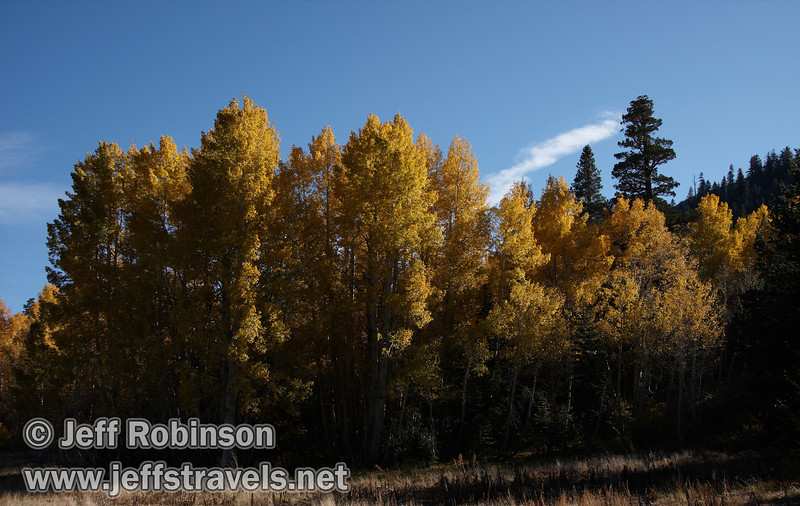 Bright yellow aspen at the edge of a field under blue sky. (10/22/2011, off highway 88 at the turnoff to Red Lake in Hope Valley below Carson Pass, Fall Color Drive)