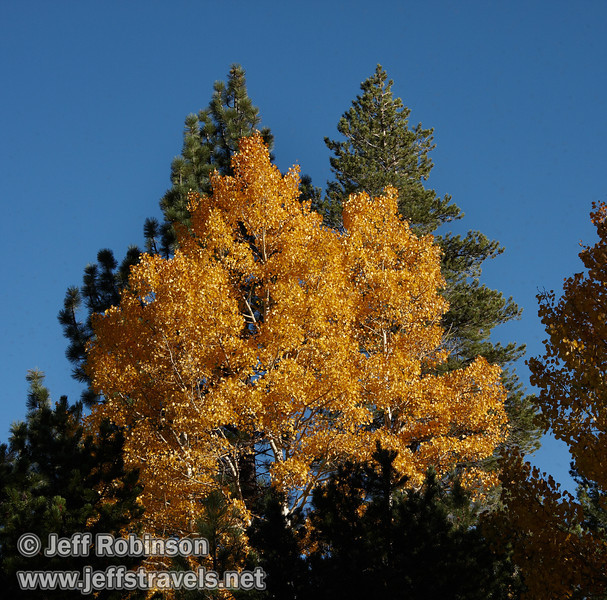 Yellow aspen with green pines under blue sky (10/22/2011, north of highway 88 in Hope Valley, Fall Color Drive)