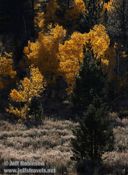 Backlit yellow aspen with a few green pines or firs (10/22/2011, north of highway 88 in Hope Valley, Fall Color Drive)