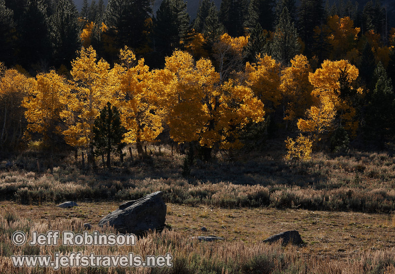 Backlit yellow aspen with a few green pines or firs and a boulder in the field in the foreground (10/22/2011, north of highway 88 in Hope Valley, Fall Color Drive)