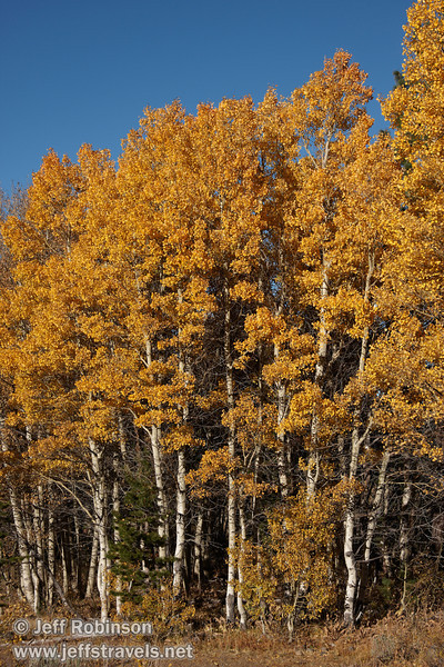 Yellow aspen with white sunlit trunks (10/22/2011, north of highway 88 in Hope Valley, Fall Color Drive)