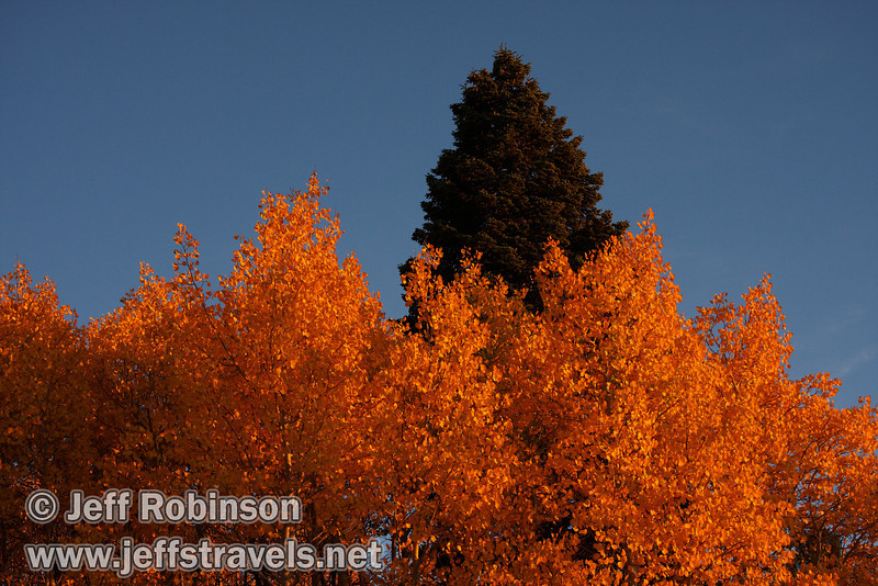 Red setting sunlight on a grove of yellow aspen trees, with a green pine behind under blue sky. (10/22/2011, highway 89 climbing to Monitor Pass (west side of summit), Fall Color Drive)