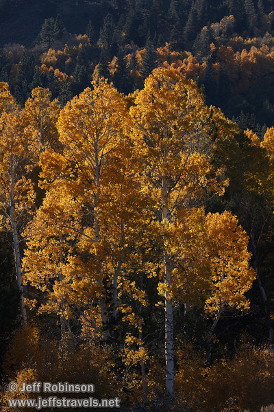 Backlit yellow aspen (10/22/2011, north of highway 88 in Hope Valley, Fall Color Drive)