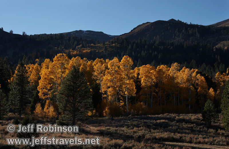 Backlit yellow aspen with a few green pines or firs, with mountains behind (10/22/2011, north of highway 88 in Hope Valley, Fall Color Drive)