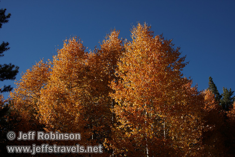 A stand of yellow aspen with deep blue sky behind. (10/22/2011, off highway 88 at the turnoff to Red Lake in Hope Valley below Carson Pass, Fall Color Drive)